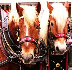 Pferdemarkt-Leonberg-und Umzug