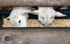 Two heads in the feeder