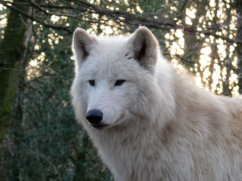 closest dog breed to wolf
