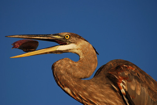 fish bird rooftop heron nature animal closeup outside outdoors colorful feeding florida eating wildlife feathers baitshop sarasota hungry greatblueheron avian handout plumage sarasotabay wadingbird ineedajob hartslanding thesuperbmasterpiece grouptripod michaelskelton michaeldskelton michaeldskeltonphotography