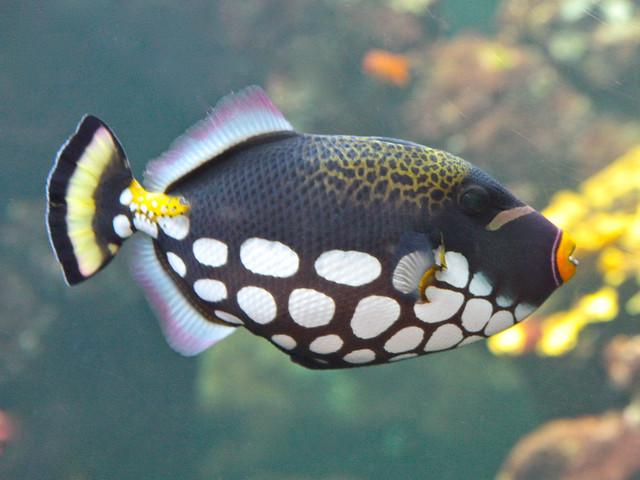 Clown Triggerfish. Balistoides conspicillum (Balistidae) Triggerfishes