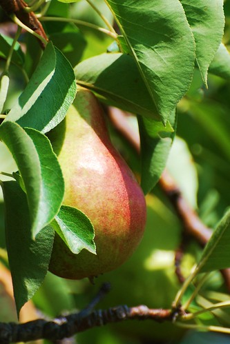 pear | by Aunt Owwee
