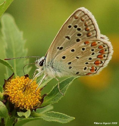 Farfalla-39-w