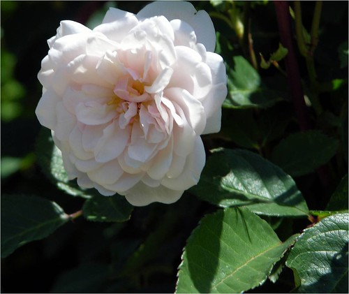 Faded_Pink_Monthly_Noisette_Rose