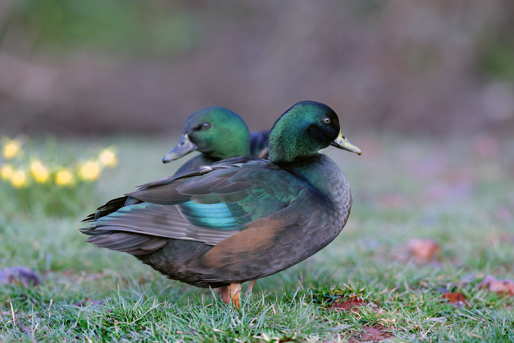 Ducks of Great House Farm Usk Wales.