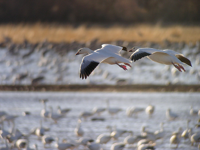 Snow Goose - flight