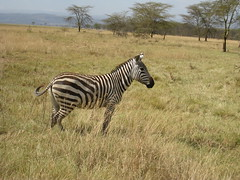 adventure(0.0), herd(0.0), animal(1.0), prairie(1.0), zebra(1.0), plain(1.0), mammal(1.0), fauna(1.0), savanna(1.0), grassland(1.0), safari(1.0), wildlife(1.0),