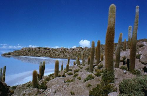 cactus cacti desert bolivia saltlake potosi salardeuyuni echinopsis trichocereus isladelpescado isladelospescadores fishisland isladepescados echinopsistarijensis trichocereuspasacana inkawasi inkahuasi trichocereustarijensis echinopsisatacamensispasacana