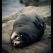 sleeping Seal (2)
