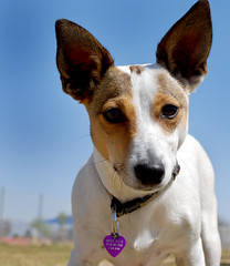 dog sports(0.0), animal sports(0.0), sports(0.0), dog breed(1.0), animal(1.0), hound(1.0), dog(1.0), pet(1.0), mammal(1.0), ibizan hound(1.0), toy fox terrier(1.0), close-up(1.0), basenji(1.0), terrier(1.0),