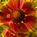 Firewheel - Gaillardia pulchella Garry Point