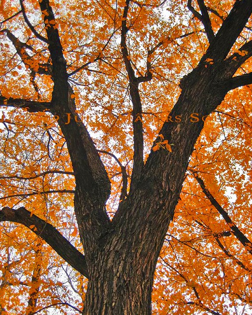 a majestic tree dressed in pumpkin orange autumn leaves