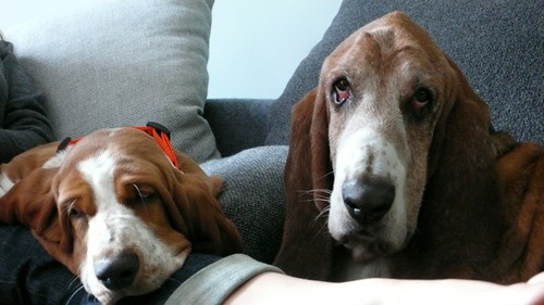Basset Hounds on sofa 2