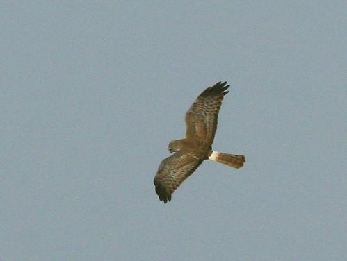 Northern Harrier Male 20090328