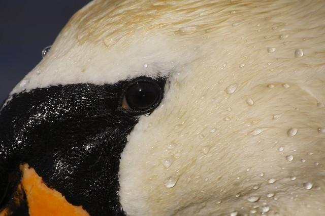 Swan 01