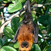 Seychelles Flying Fox - Photo (c) uncoyote, some rights reserved (CC BY-NC-SA)