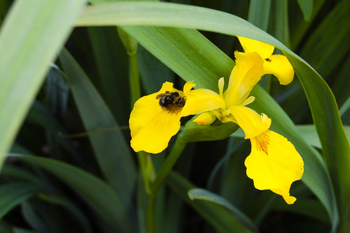 Flag iris with bee
