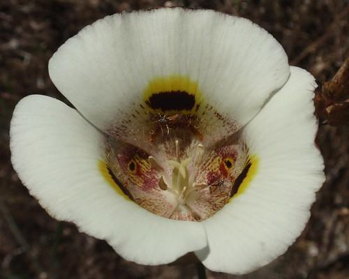 Mariposa Lily 01