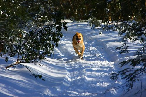winter massachusetts scout holyoke germanshepherd gsd walkinthewoods mttomstatereservation