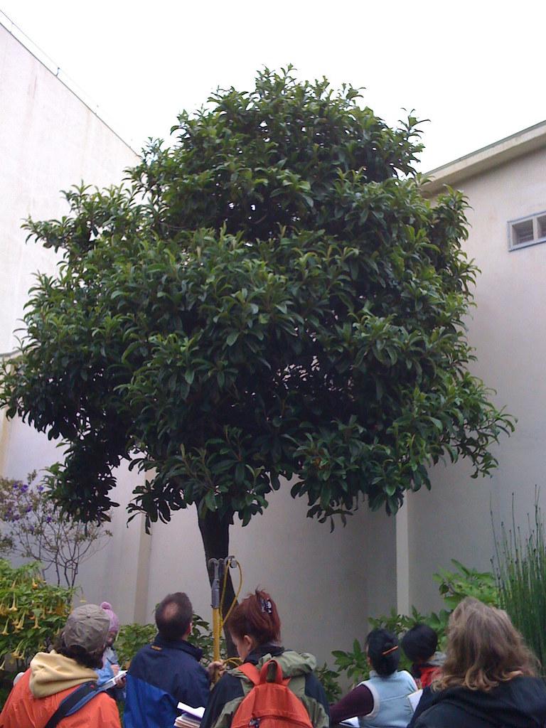 plant id notes eriobotrya japonica. Black Bedroom Furniture Sets. Home Design Ideas