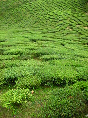 Cameron Highlands 07 - Tea plantation