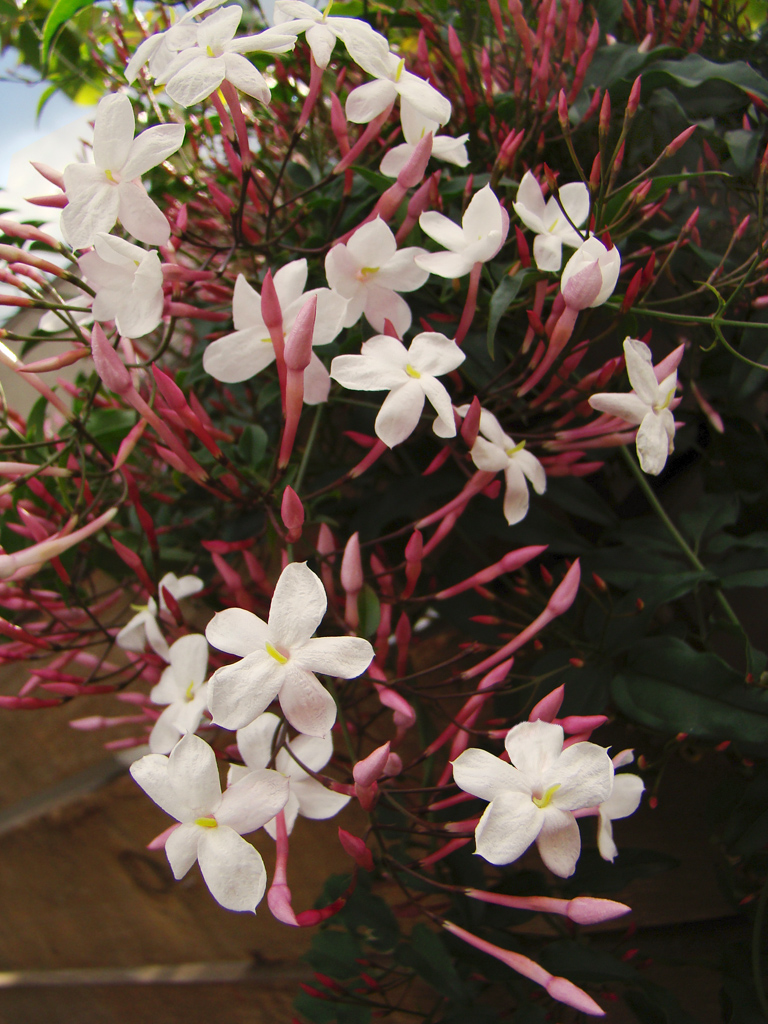 Pink jasmine on a rainy day jasminum polyanthum a photo on pink jasmine on a rainy day jasminum polyanthum izmirmasajfo