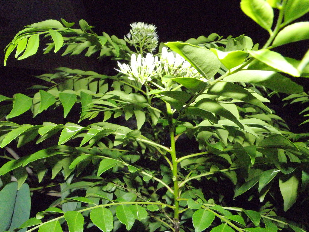 curry leaf tree