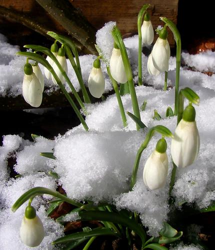 snödroppar ~ snowdrops