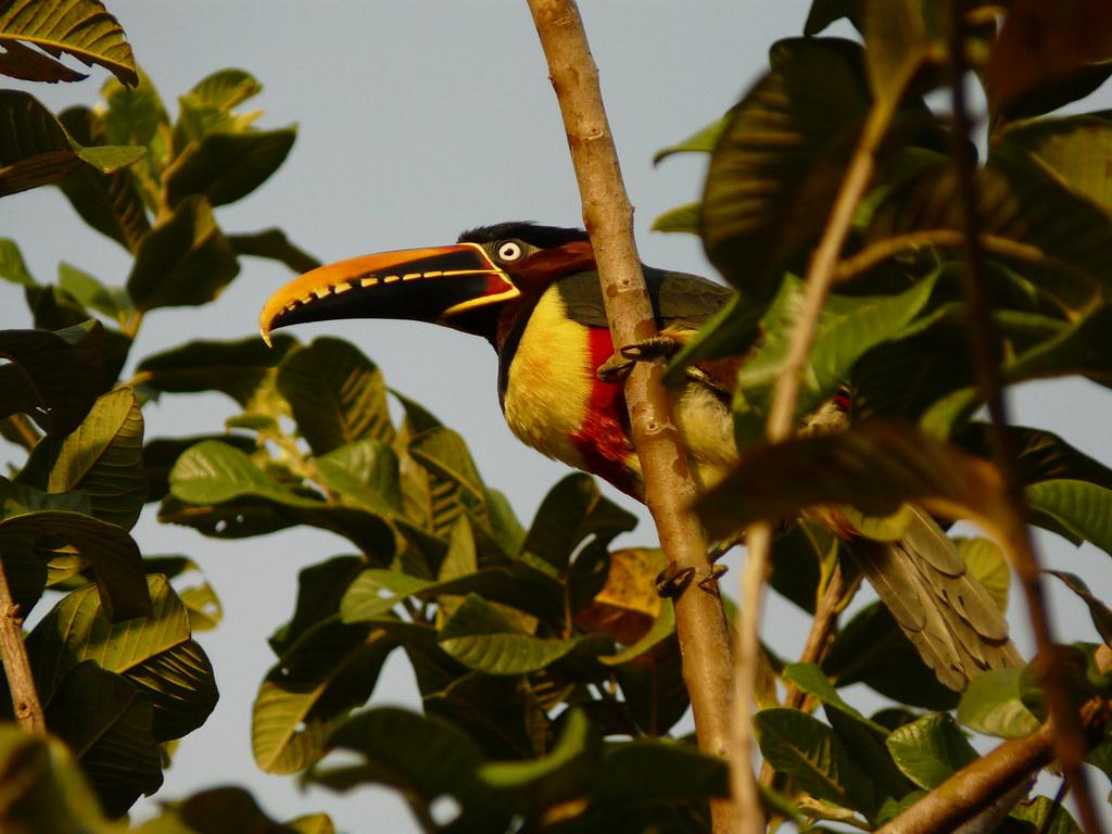 Chestnut-eared Aracari P1330815
