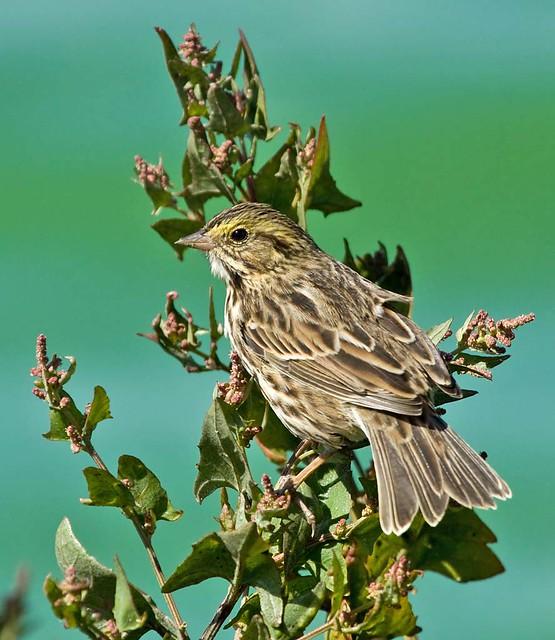 Savannah Sparrow at Radio Road Ponds