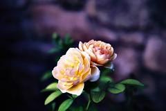 Lomo Rose