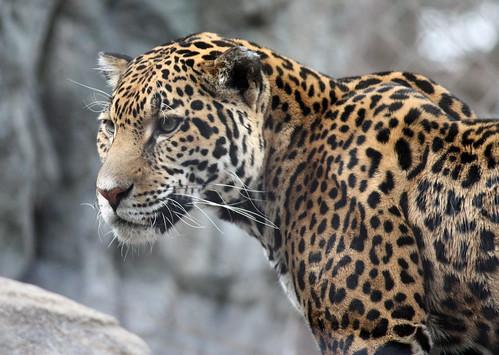 Jaguar 62