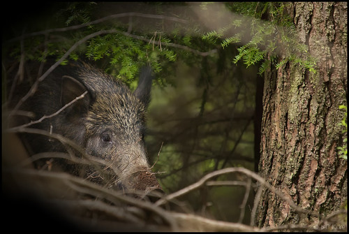Wild Boar, Forest of Dean