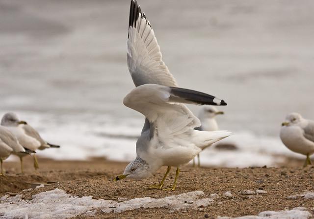 gull behavior_0341F.jpg