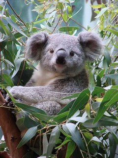 Koala named Orana at Cleveland Metroparks Zoo
