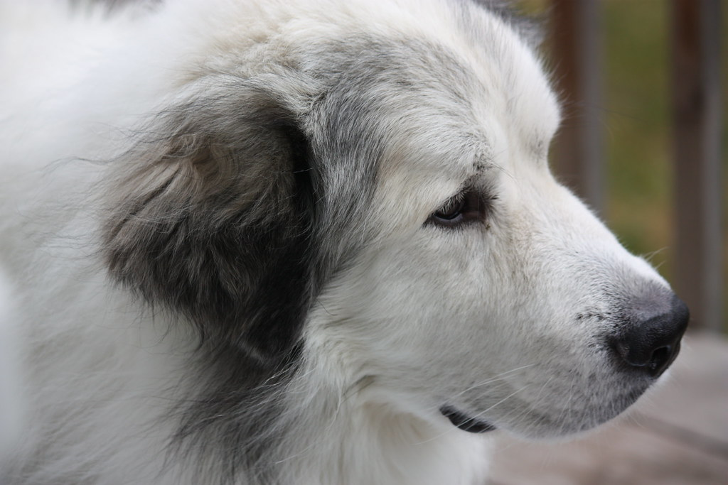 Maddox The Great Pyrenees