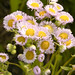 Philadelphia fleabane - Photo (c) Frank Mayfield, some rights reserved (CC BY-SA)