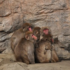 animal(1.0), baboon(1.0), monkey(1.0), mammal(1.0), fauna(1.0), japanese macaque(1.0), old world monkey(1.0), wildlife(1.0),