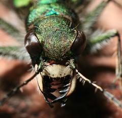 Tiger Beetle Fangs.