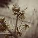 vintage blooming forsythia