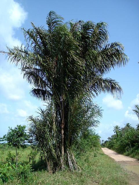 Astrocaryum vulgare