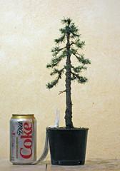 bonsai pruning