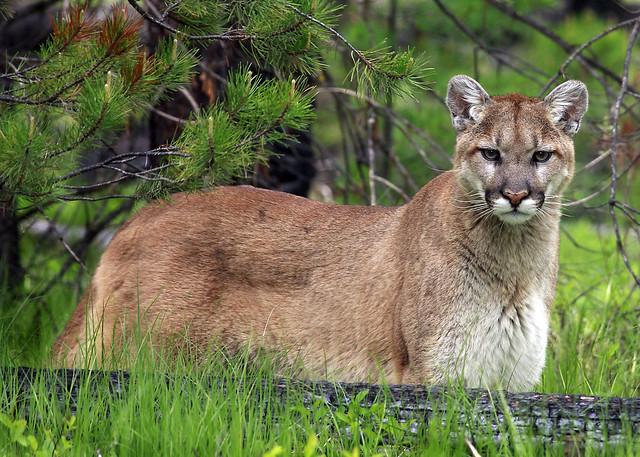 Wild MT. Lion