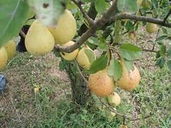 longan(0.0), plant(0.0), produce(0.0), food(0.0), fruit tree(1.0), fruit(1.0),