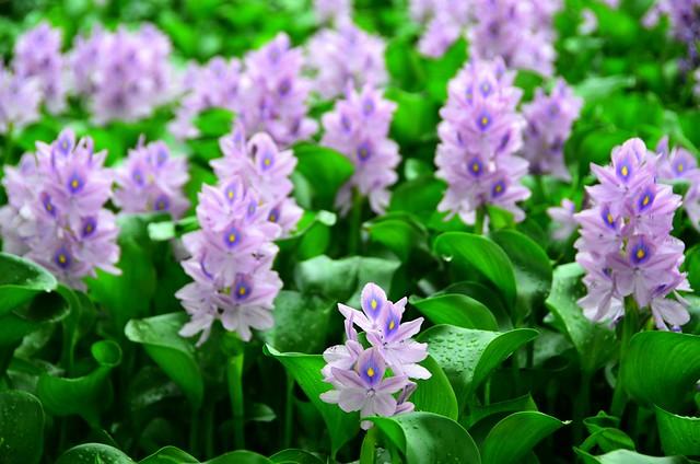 Water Hyacinth 鳳眼藍