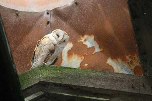 barn owl on flower farm