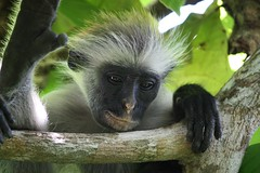 tufted capuchin(0.0), capuchin monkey(0.0), white-headed capuchin(0.0), macaque(0.0), animal(1.0), monkey(1.0), mammal(1.0), langur(1.0), fauna(1.0), old world monkey(1.0), new world monkey(1.0), wildlife(1.0),