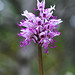 Monkey Orchid - Photo (c) Peter Zschunke, some rights reserved (CC BY-NC-SA)