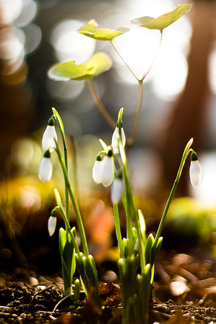 snowdrop, spring, earth