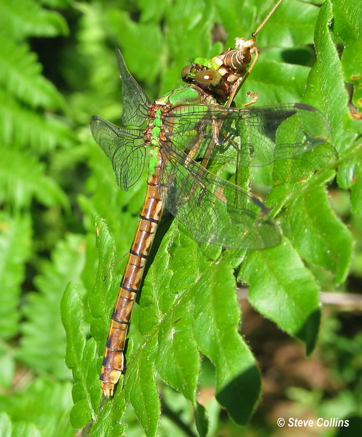 Rusty Snaketail (Ophiogomphus rupinsulensis)